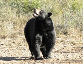 Recomendaciones por la presencia de osos negros