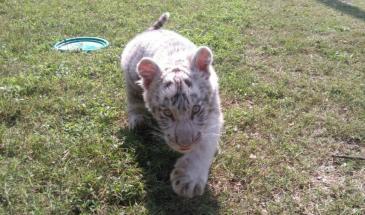 Ponle nombre al tigre de bengala
